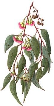 eucalyptus-sideroxylon-L